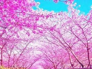 桜並木jpg